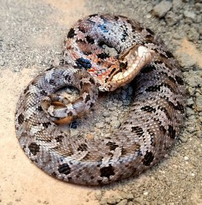 mount pleasant sc snake removal eastern hognose snake harmless