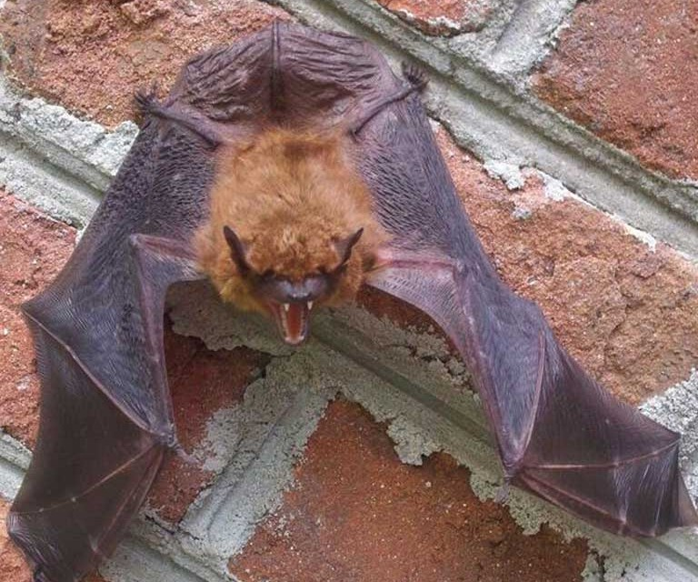 Bat Control, Trapping, Removal and Exclusion