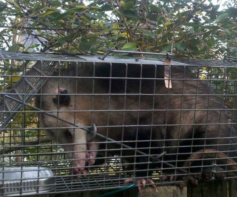 Opossum Control, Trapping, Removal and Exclusion Services