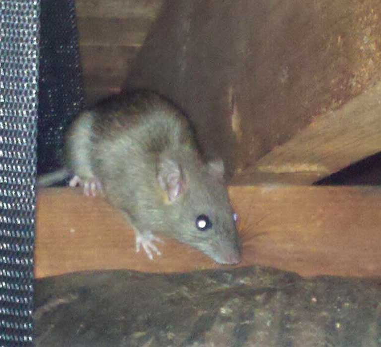 Rat and Rodent Control, Trapping, Removal and Exclusion Services