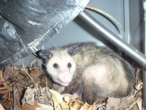 This Mother Opossum is living in a grill with her litter. She even made a nest of leaves.