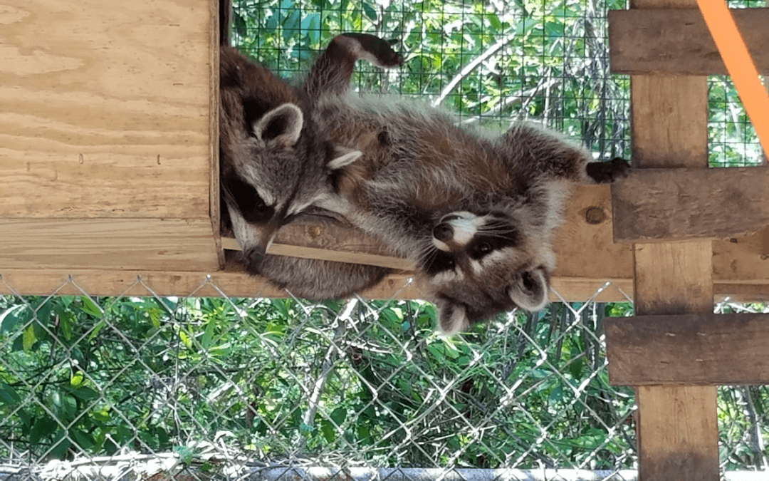 Raccoon Control, Trapping, Removal and Exclusion