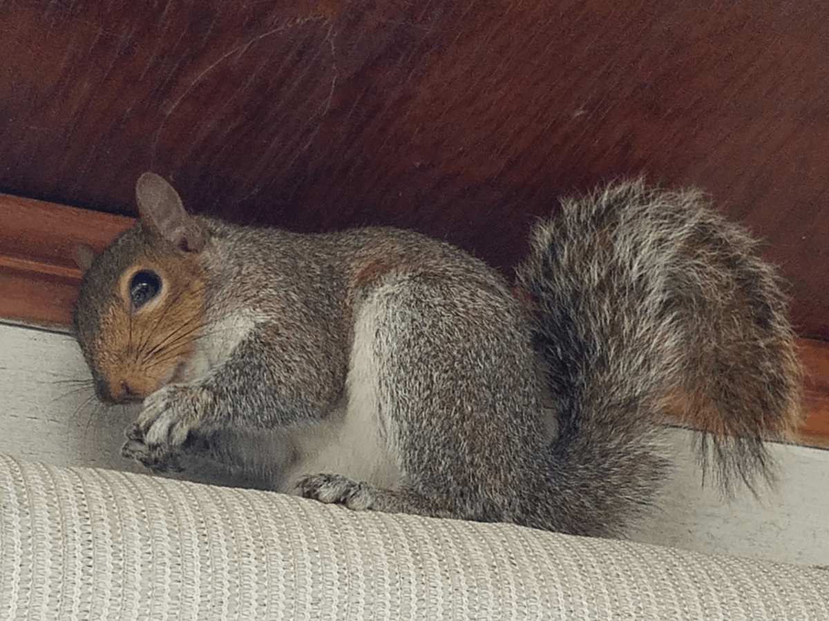 Squirrel Control, Squirrel Trapping and Removal