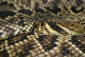 venomous sc snake