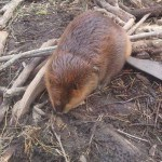 Beaver Control, Trapping and Removal Services