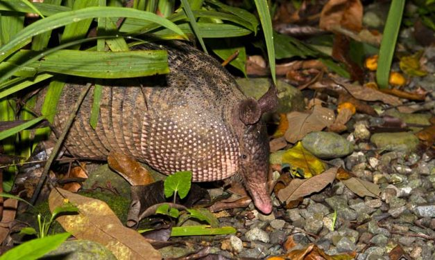 Armadillo Control, Trapping, Removal and Exclusion Services