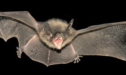 Charleston & Mt Pleasant SC Raccoon & Bat Removal Control Services Announced