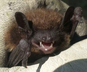 bat removal mount pleasant south carolina