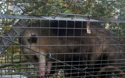Charleston SC Squirrel Control Rat Mice & Opossum Removal Services Launched