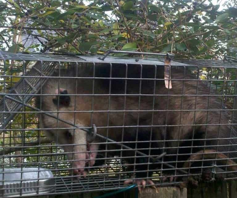 opossum removal in charleston sc