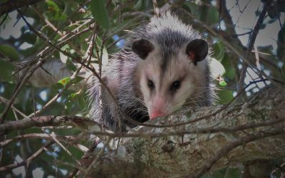 Charleston SC Wildlife Control Winter Opossum & Rat Control Service Expanded