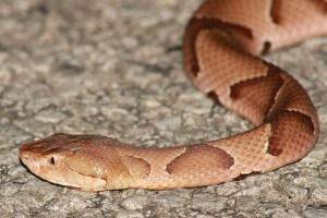 copperhead snake in yard