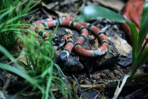coral snake sc